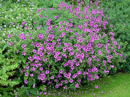 http://www.cullens.org.uk/Cullens_Images/001342-geranium-possibly-psilostemon.jpg